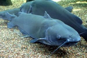 Channel_Catfish